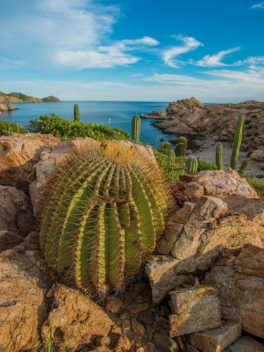 Isla Santa Catalina Barrow Cactus