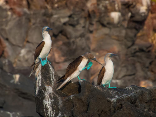 Blue Footed Boobies 9