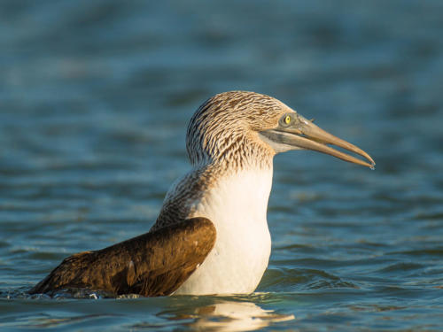 Blue Footed Booby 3