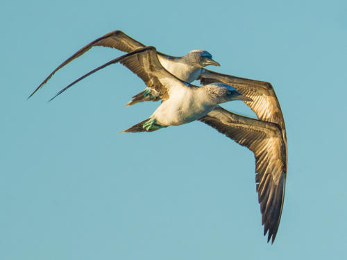 Blue Footed Booby 5