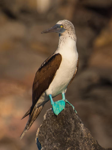 Blue Footed Booby 6