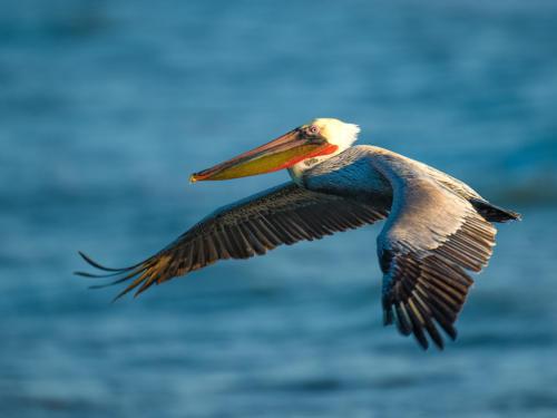 Brown Pelican 3