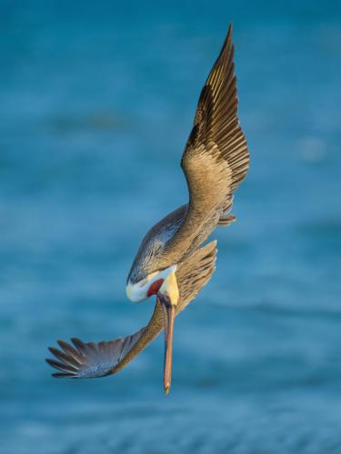 Brown Pelican 4