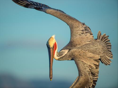 Brown Pelican 5