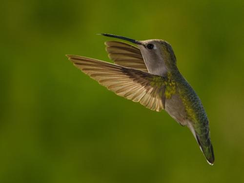 Costa's Hummingbird Female 3