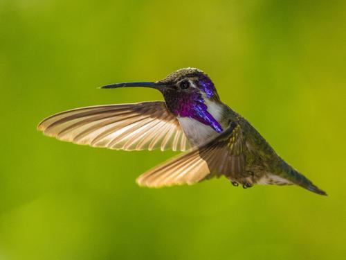 Costa's Hummingbird Male 4