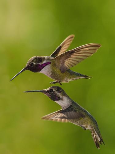 Costa's Hummingbirds Males 2