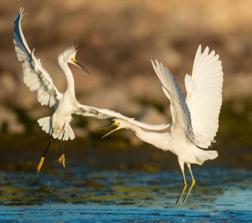 Egret fight worked2