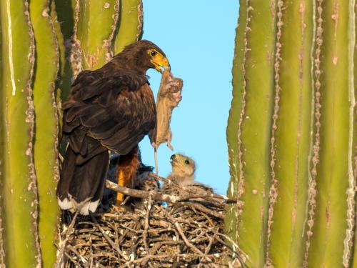 Harris Hawk Nest 1