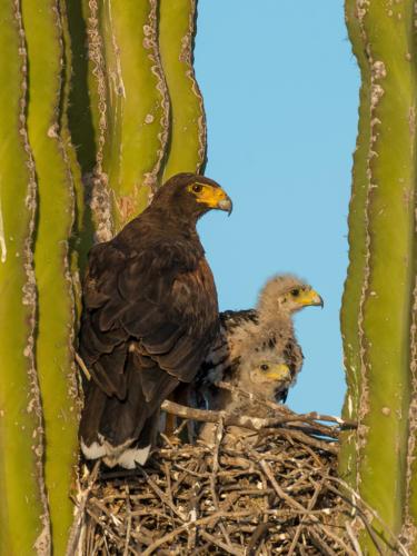 Harris Hawk Nest 2