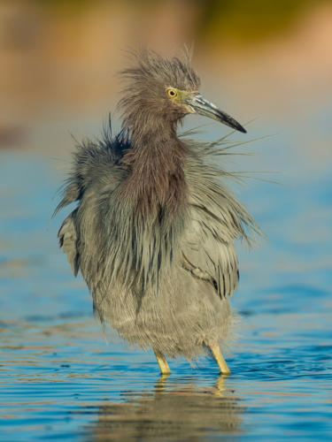 Little Blue Heron Bad Feather Day'