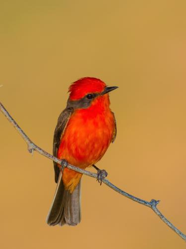 Vermillion Flycatcher Male 2