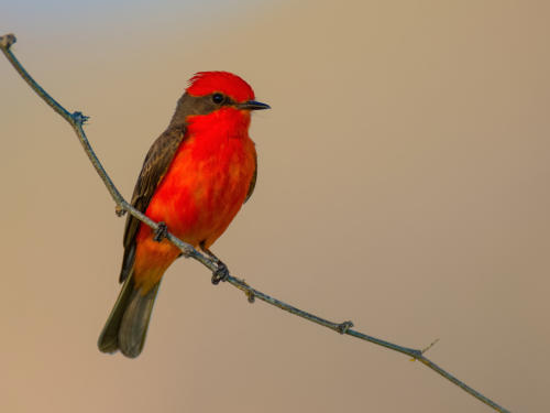 Vermillion Flycatcher  Male 1