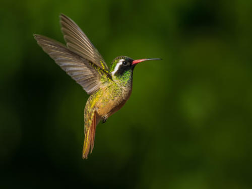 Xantus Hummingbird Male 1