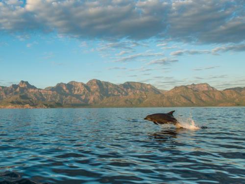 Bottlenose Dolphin Sierra Giganta