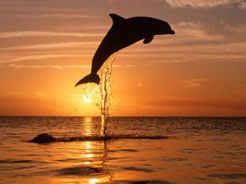Bottlenose Dolphin Sunrise