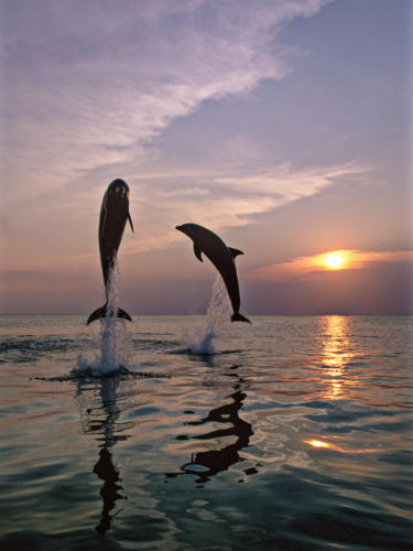 Bottlenose Dolphin Sunrise Breach