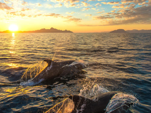 Bottlenose Dolphins at Sunrise