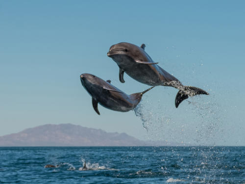 Bottlenose High Jump
