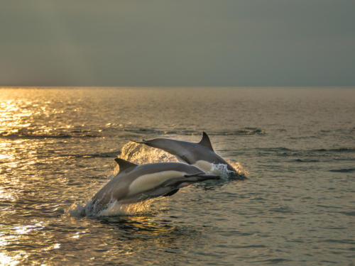 Common Dolphin Gold