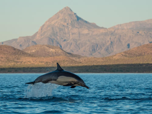 Common Dolphin Sierra Giganta
