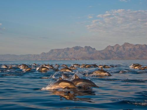 Common Dolphins Sierra de la Giganta