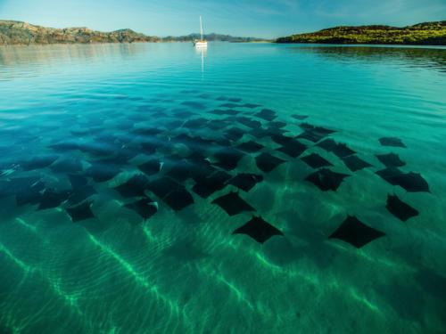 Mobula Rays Isla Coronado