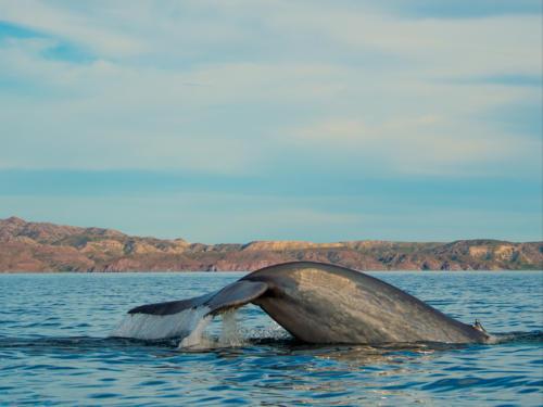 Blue Whale 16
