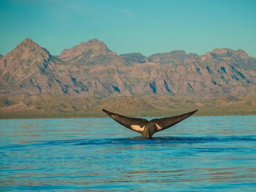 Blue Whale Calabasas