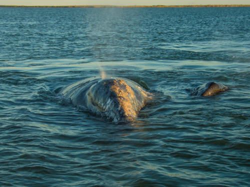 Gray Whale9