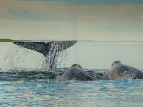 Gray Whale 3