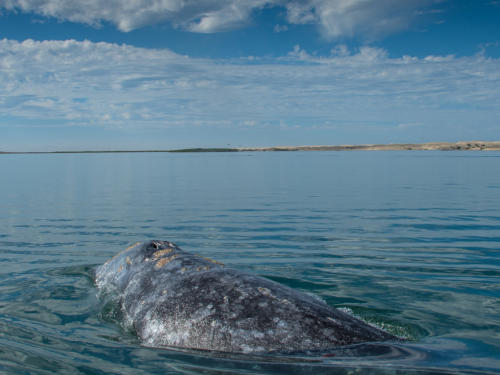 Gray Whale 4