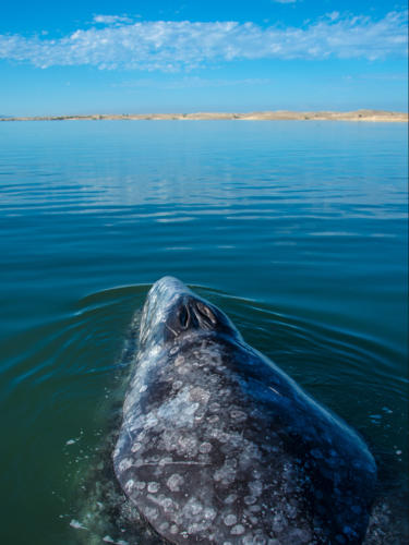 Gray Whale 6