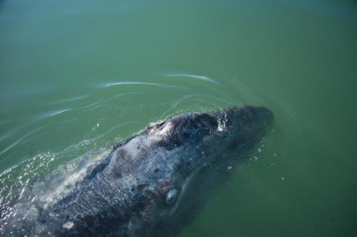 Gray Whale 7