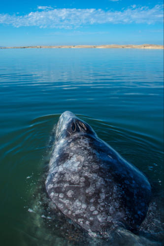Gray Whale 8