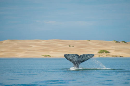 Gray Whale 9