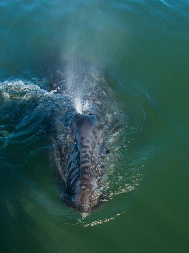 Gray Whale Calf 1