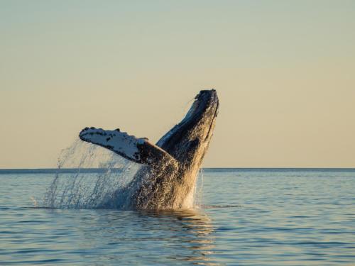 Humpback Whale 12