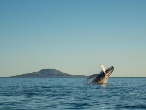 Humpback Whale 13